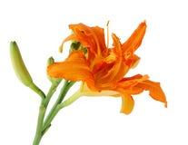 Pomarańczowy Daylily Zdjęcie Stock