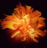 Pomarańczowy daylily Zdjęcia Stock