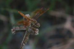 Pomarańczowy Dragonfly Fotografia Royalty Free