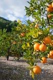 pomarańczowy drzewo Zdjęcia Stock