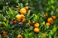 pomarańczowy drzewo Fotografia Stock