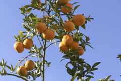 Pomarańczowy drzewo zdjęcie royalty free