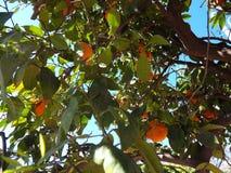 Pomarańczowy drzewo w Marrakech Obrazy Royalty Free