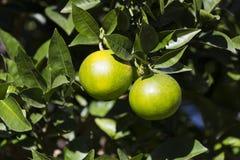 Pomarańczowy drzewo z owoc dojrzewa Zdjęcie Royalty Free