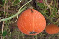 Pomarańczowy dyniowy zrozumienie na kiju Fotografia Stock
