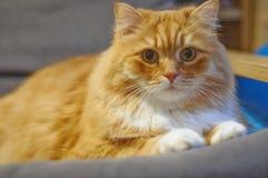 Pomara?czowy futerkowy kot zdjęcie royalty free