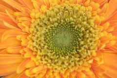 Pomarańczowy gerbera fotografia royalty free