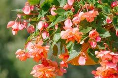 pomarańczowy girlandy begoni kwiat Obrazy Royalty Free