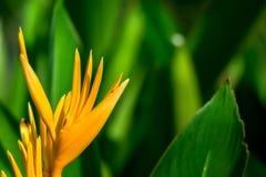 Pomarańczowy Heliconia kwiat w zieleni Zamazanym tle zdjęcia royalty free