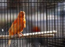 Pomarańczowy kanarek w klatce Zdjęcie Royalty Free