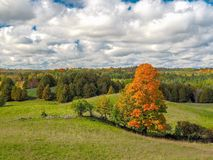 Pomarańczowy klonowy drzewo w jesieni Obrazy Stock