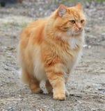 Pomarańczowy kot Obraz Stock