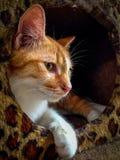 Pomarańczowy kot Fotografia Stock