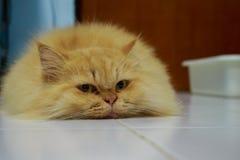 Pomarańczowy kot Zdjęcie Stock
