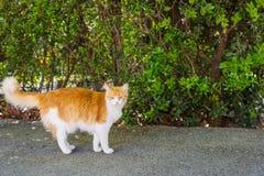pomarańczowy kota biel Zdjęcie Royalty Free