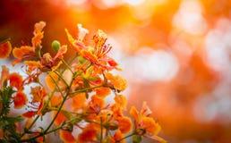 Pomarańczowy Królewski Poinciana kwiat Obrazy Royalty Free