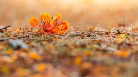 Pomarańczowy Królewski Poinciana na ziemi Fotografia Stock
