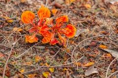 Pomarańczowy Królewski Poinciana na ziemi Zdjęcia Royalty Free