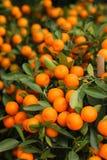 Pomarańczowy kumquat na drzewie Fotografia Stock