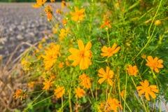 Pomarańczowy kwiat Obrazy Stock