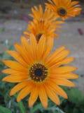 Pomarańczowy kwiat Zdjęcie Stock