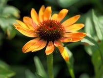 Pomarańczowy kwiat Obraz Stock