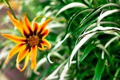 Pomarańczowy kwiat Zdjęcia Stock