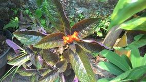 Pomarańczowy kwiat kwitnie w ogródzie Zdjęcie Royalty Free