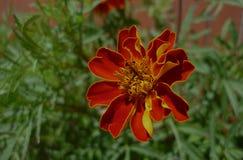 Pomarańczowy kwiat w Madryt obrazy stock