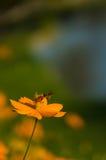 Pomarańczowy kwiat w ogródzie Zdjęcie Stock