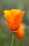 Pomarańczowy kwiatu eshsholtsiya Zdjęcia Stock