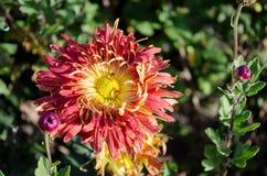 Pomarańczowy kwiatu kwitnienie na zielonym tle Jesieni chryzantema fotografia royalty free