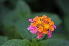 Pomarańczowy lantana kwiat Obrazy Royalty Free
