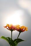 Pomarańczowy lantana kwiat Zdjęcia Royalty Free