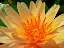 Pomarańczowy lotos obrazy royalty free