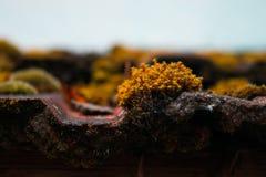 Pomarańczowy mech Zdjęcia Stock