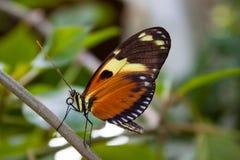 Pomarańczowy motyl Zdjęcia Royalty Free