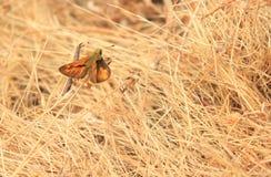 Pomarańczowy motyl Obraz Stock