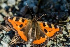 Pomarańczowy motyl - Aglais urticae Zdjęcia Stock
