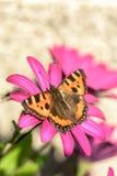 Pomarańczowy motyl - Mali Tortoiseshell Aglais urticae Fotografia Stock