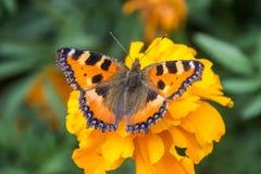 Pomarańczowy motyl na kwiacie Fotografia Stock