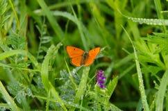 Pomarańczowy motyl w mokrej trawie Fotografia Royalty Free