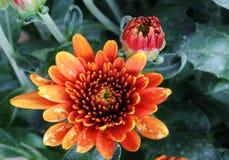 Pomarańczowy mum Zdjęcie Stock