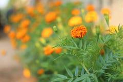 Pomarańczowy nagietka kwiat na plamy tle Fotografia Royalty Free