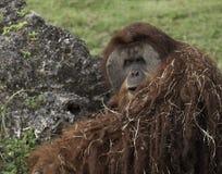 Pomarańczowy Orangutan Fotografia Royalty Free