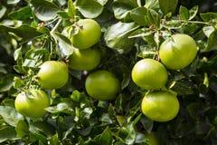 pomarańczowy owoc drzewo Zdjęcie Royalty Free