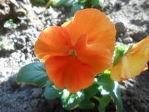 Pomarańczowy pansy altówki x wittrockiana Obrazy Royalty Free