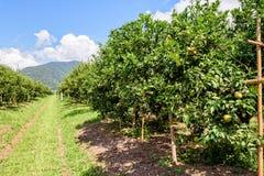 Pomarańczowy sad w Tajlandia Zdjęcia Stock