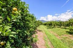 Pomarańczowy sad w Tajlandia Obraz Royalty Free