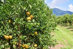 Pomarańczowy sad w Tajlandia Fotografia Royalty Free